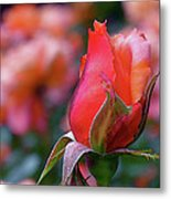 Rose On Rose Metal Print