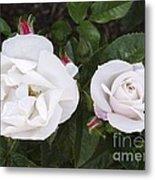Rose (rosa 'pearl Drift') Metal Print