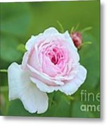Rose Metal Print by Sylvia  Niklasson