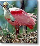 Roseate Spoonbill Adult In Breeding Metal Print