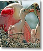 Roseate Spoonbill Feeding Young At Nest Metal Print