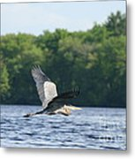 Roseland Lake Great Blue Heron Fly By  Metal Print
