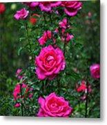 Roses In The Garden Metal Print