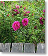 Roses On A Fence Metal Print