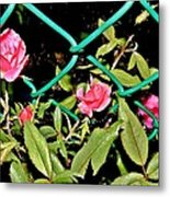 Roses On Fence Metal Print
