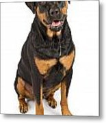Rottweiler Dog With Drool Metal Print