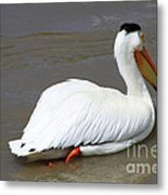 Rough Billed Pelican Metal Print