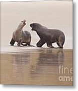Rough Courtship Of Male And Female Hookers Sealions Metal Print