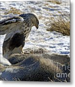 Rough-legged Hawk On A Mule Deer Kill Metal Print