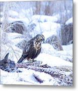 Rough Legged Hawk On Deer Carcass Metal Print
