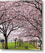 Rows Of Cherry Blossom Trees In Bloom Metal Print