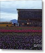 Rows Of Multi Colored Tulips In Field With Old Barn And Yellow B Metal Print