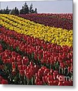 Rows Of Multicolored Tulips In Field Mount Vernon Washington Sta Metal Print