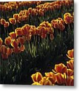 Rows Of Orange Tulips In Field Mount Vernon Washington State Usa Metal Print
