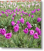 Rows Of Pink And Purple Tulip Flowers Metal Print