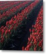 Rows Of Red Tulips Metal Print