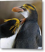 Royal Penguin Couple Courting Metal Print