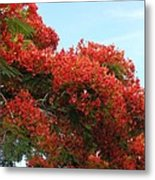 Royal Poinciana Branch Metal Print