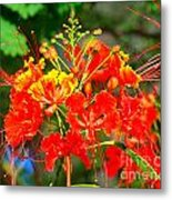 Royal Poinciana Metal Print