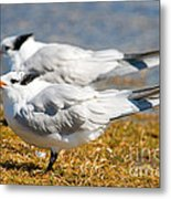 Royal Tern Metal Print