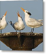 Royal Tern Trio Displaying Dominican Metal Print