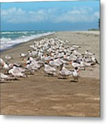 Royal Terns On The Beach Metal Print