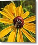 Rudbeckia Bee Metal Print
