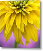 Rudbeckia Cherokee Sunset Flower Metal Print by Tim Gainey