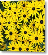 Rudbeckia Fulgida 'pot Of Gold'  Metal Print by Tim Gainey