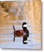 Ruddy Duck  Metal Print