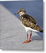 Ruddy Turnstone Bird Arenaria Interpres Florida Usa Metal Print
