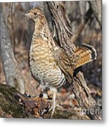 Ruffed Grouse On Mossy Log Metal Print