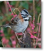 Rufous-collared Sparrow Metal Print