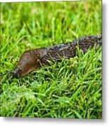 Rufous Garden Slug Metal Print