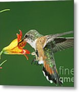 Rufous Hummingbird At Tiger Lily Metal Print