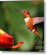 Rufous Hummingbird Metal Print