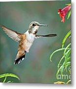 Rufous Hummingbird Female At Monkey Metal Print
