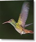 Rufous-tailed Hummingbird Metal Print