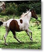 Running Pinto Horse Metal Print