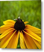Rushed Bumble Metal Print