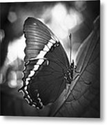 Rusty Tip Butterfly Black And White Metal Print