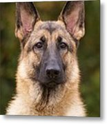 Sable German Shepherd Dog Metal Print