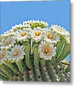 Saguaro Flowers On Top Metal Print