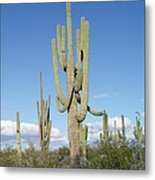 Saguaros With Green Grass Metal Print