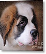 Saint Bernard Puppy Metal Print by Jai Johnson