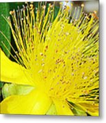 Saint Johns Wort  Metal Print