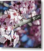 Sakura Blossoms Metal Print by Anthony Citro