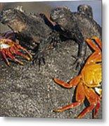 Sally Lightfoot Crabs And Marine Metal Print