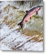 Salmon Jumping Issaquah Hatchery Metal Print