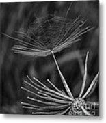 Salsify - Wildflower - Seed Metal Print